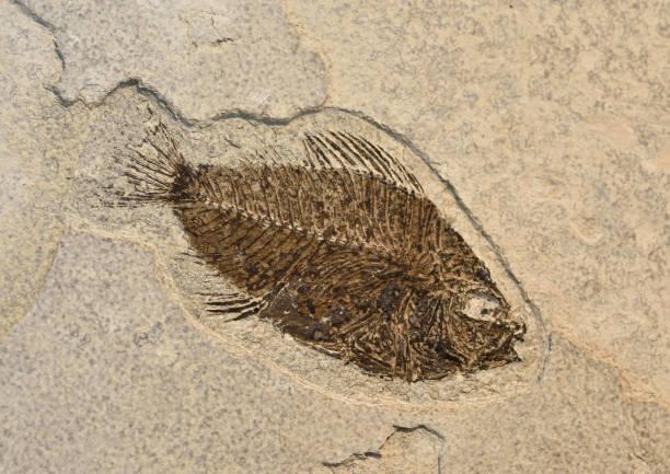 Fossil eines Fisches. – Foto