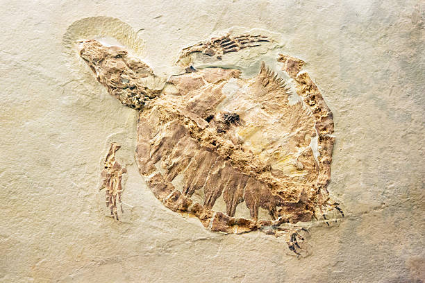 fossil of a turtle - fossil stock photos and pictures
