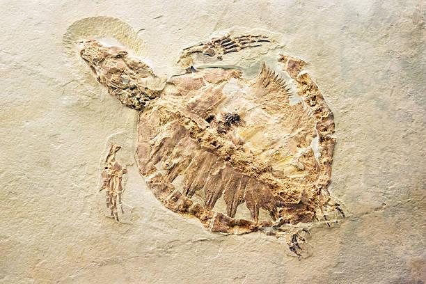化石のタートル ストックフォト
