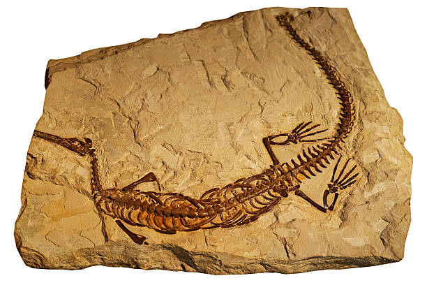 fossil of ancient reptile in rock - fossil stock photos and pictures