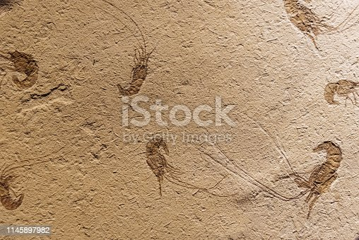 istock Fossil of Carpopenaeus on a smooth rock. 1145897982