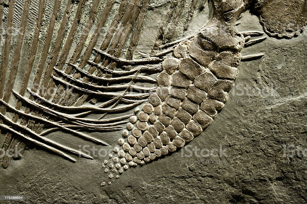 Fossil of Stenopterygius Quadriscissus stock photo