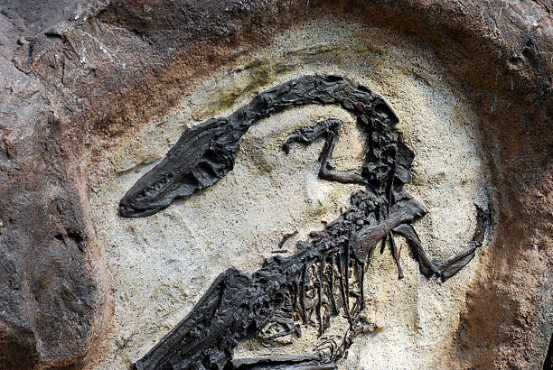fossil - fossil stock photos and pictures