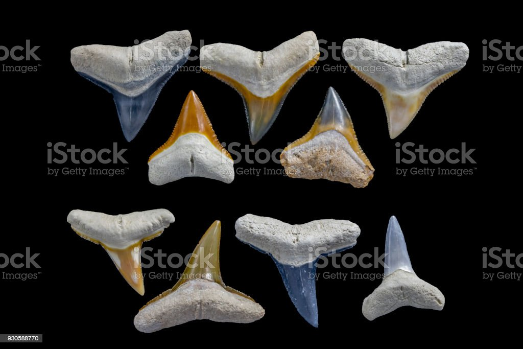 Fossil Shark Tooth Comparison Photo - Bull Shark (5 Upper Teeth) verses Lemon Shark (4 Lower Teeth). Bone Valley Fossils stock photo