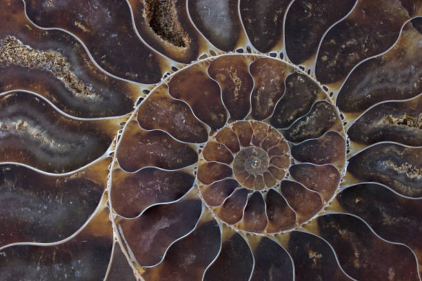 fossil shell macro texture - animal markings stock photos and pictures