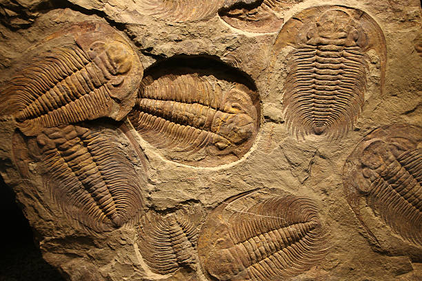 fossil trilobite imprinted in the sediment. - fossil stock photos and pictures