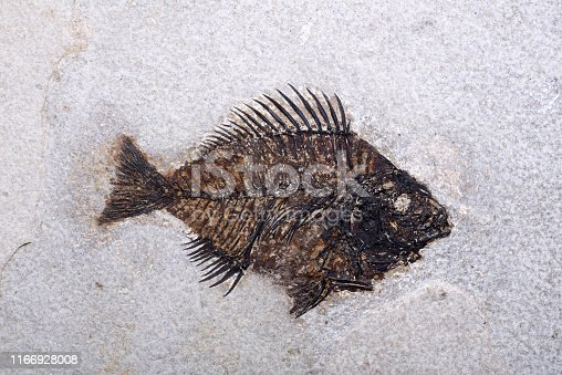 a well preserved fossilised fish