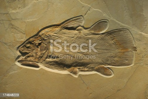 Fossilised Fish - Lybis polypterus MAnster. 160 to 140 milj. years old.