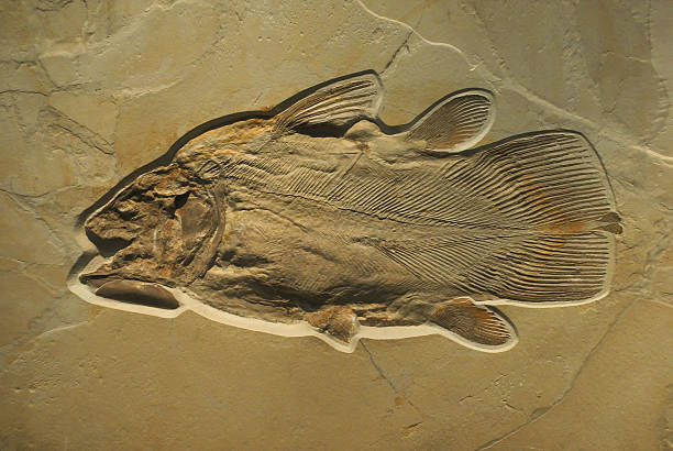 fossilised fish - fossil stock photos and pictures