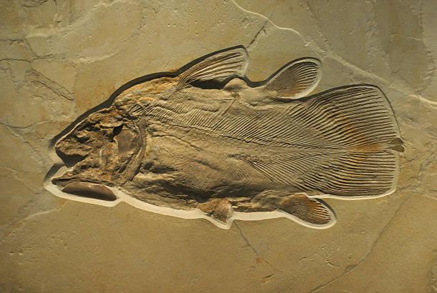 Fossilised 魚 ストックフォト