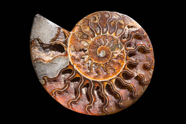 A fossilized gemstone ammolite cross-section displays texture. Nautilus fossil. stock photo