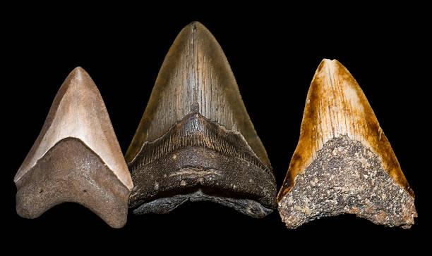 Fossilisierten Megalodon Zahn, isoliert auf Schwarz. – Foto