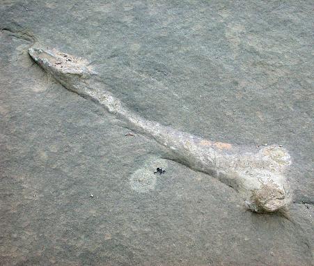 Fossilized bone embedded in stone.