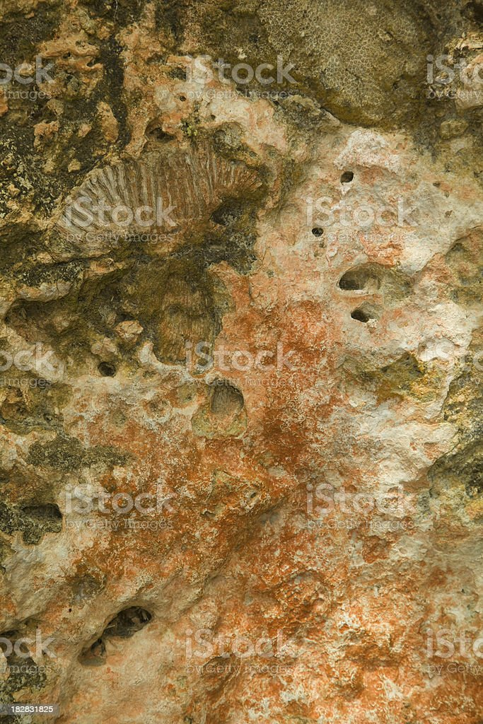 Fossilized Shell in Sandstone Wall, Sedimentary Rock royalty-free stock photo