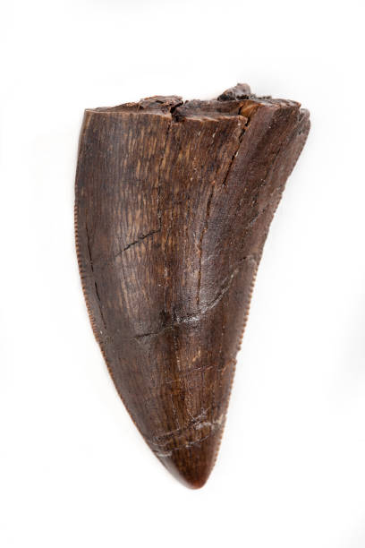 Fossilisés Tyrannosaur Tooth, Daspletosaurus probable, sur fond blanc - Photo