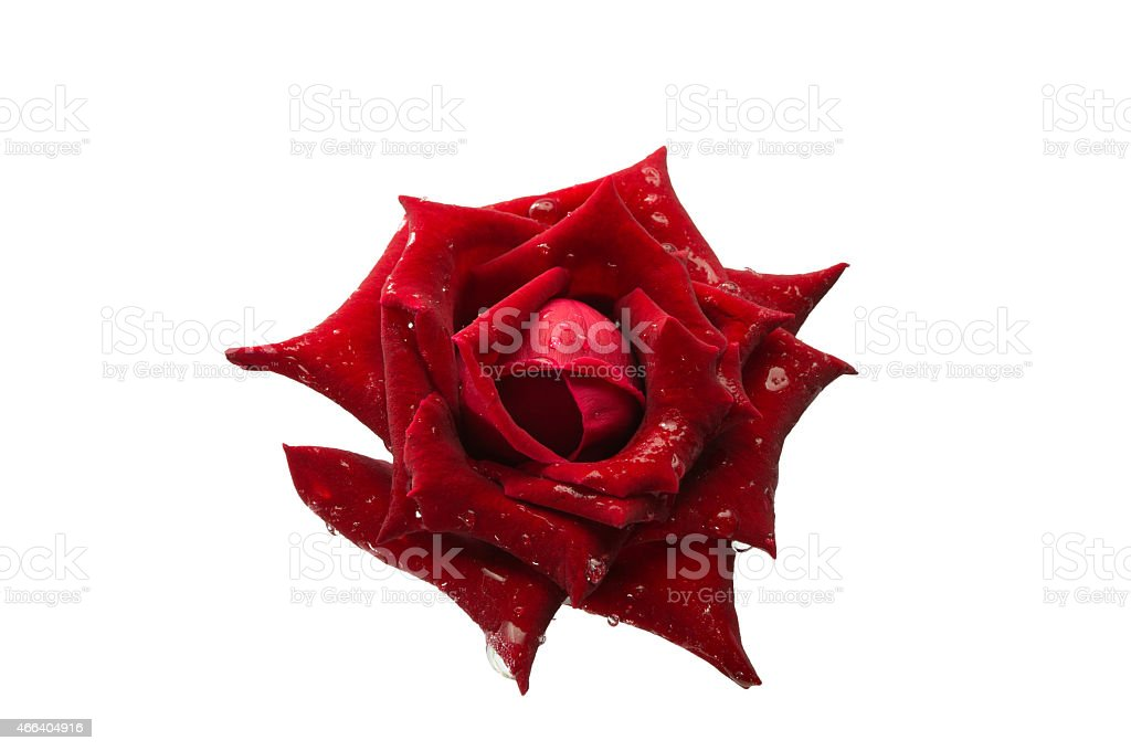Foto flower red rose with drop water in studio. stock photo