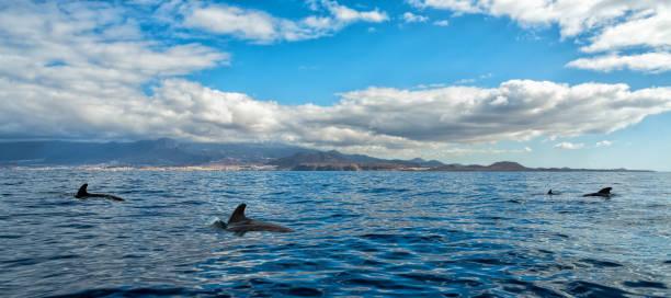 Fotographering of short-finned pilot whales stock photo