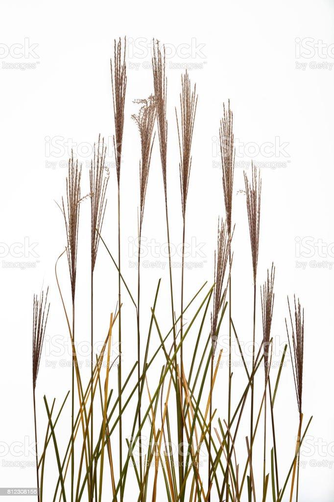 Fountain Grass Design on White stock photo