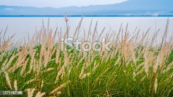 Fountain Grass, Dwarf fountain grass, Foxtail fountain grass, swamp foxtail grass (Pennisetum setaceum or Pennisetum alopecuroides) is blooming in the garden beside Phayao Lake (Kwan Phayao)