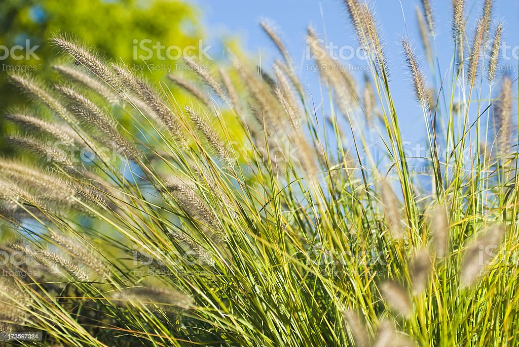 Fountain Grass in Autumn (against blue sky) - IV royalty-free stock photo