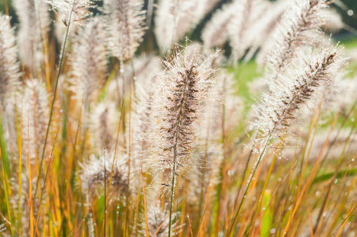 Fountain Grass in morning dew