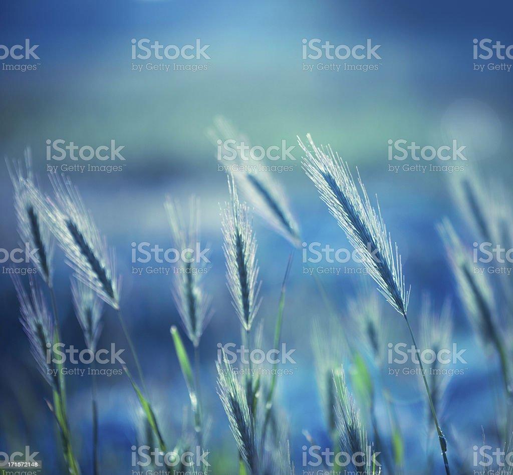 Fountain grass stock photo