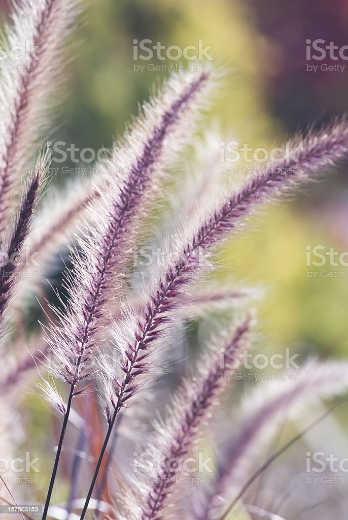 Fountain ornamental grass (Pennisetum setaceum 'Red Riding Hood') - III stock photo