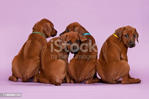 Group of four 4 rhodesian ridgeback puppies dogs sitting in raw on violet background