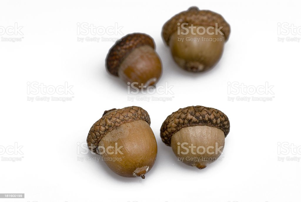 Four acorns stock photo