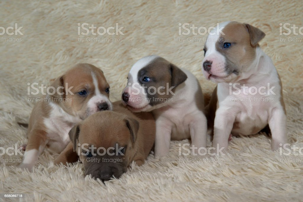 four adorable staffordshire terrier puppies playing royalty-free stock photo
