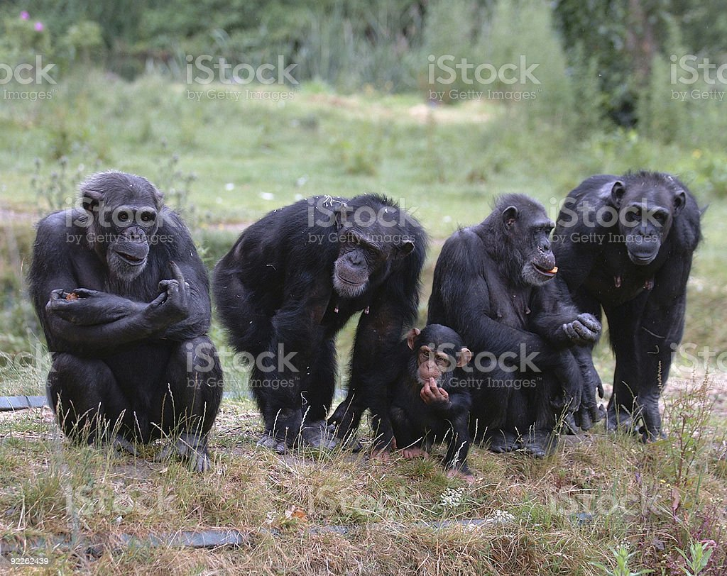 Four adult chimpanzees and one baby chimpanzee in the grass stock photo