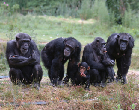 Four Adult Chimpanzees And One Baby Chimpanzee In The Grass Stock Photo - Download Image Now