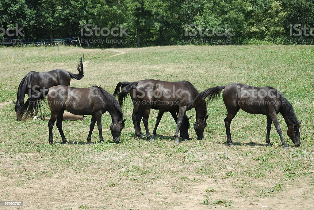 Four Arabian Horses at pasture in Catalonia (Spain) royalty free stockfoto