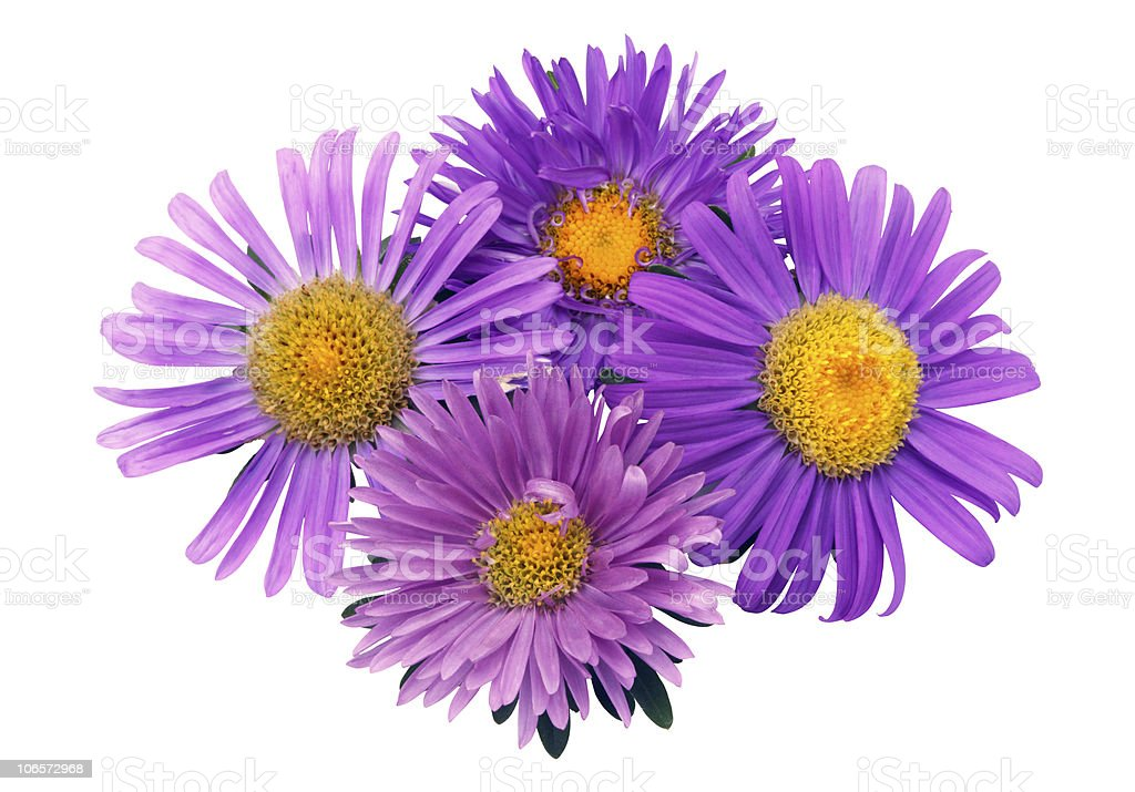 Four asters stock photo
