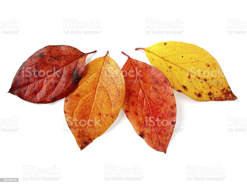 four autumnal leaves royalty-free stock photo