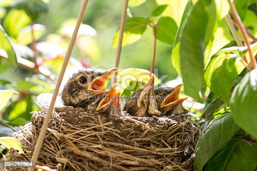 istock Four Baby Birds in a Nest 694247864