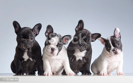 Four baby french bulldogs. Studio shot