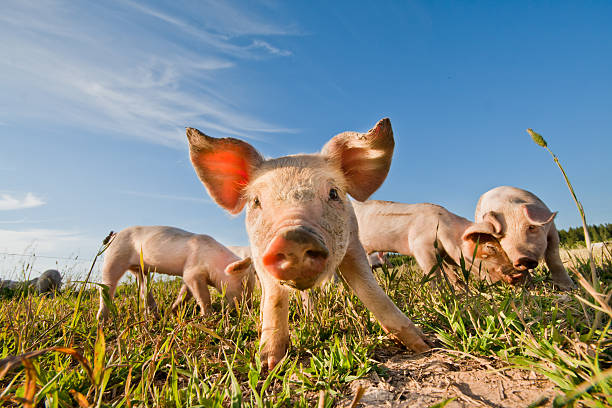 Four baby pigs on farm in Dalarna, Sweden A baby pig on a pigfarm in Dalarna, Sweden snout stock pictures, royalty-free photos & images