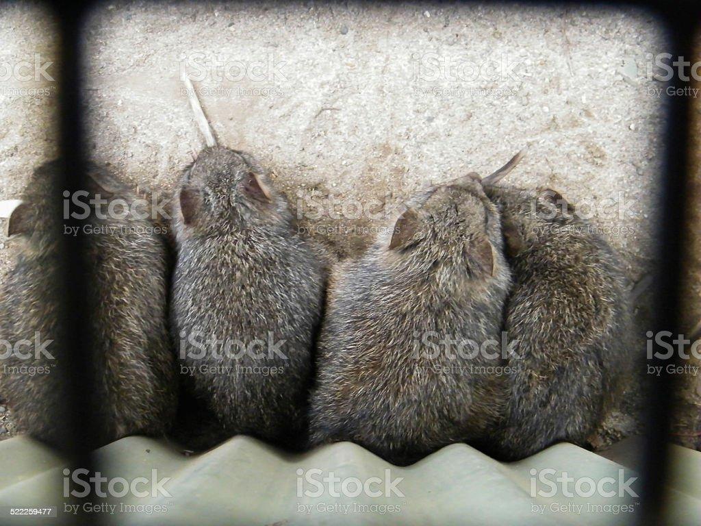 Four Bandicoots stock photo