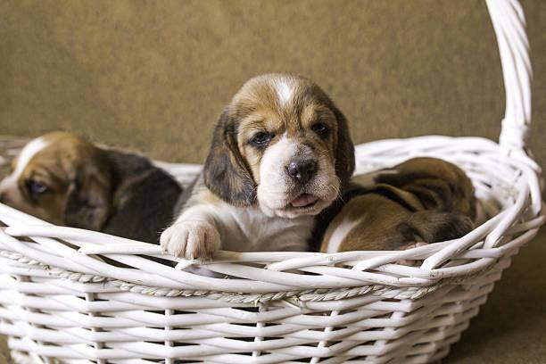 four beagle puppies in a basket. - katzen tatzen tattoos stock-fotos und bilder