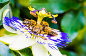 Four bees collecting pollen on a passion flower