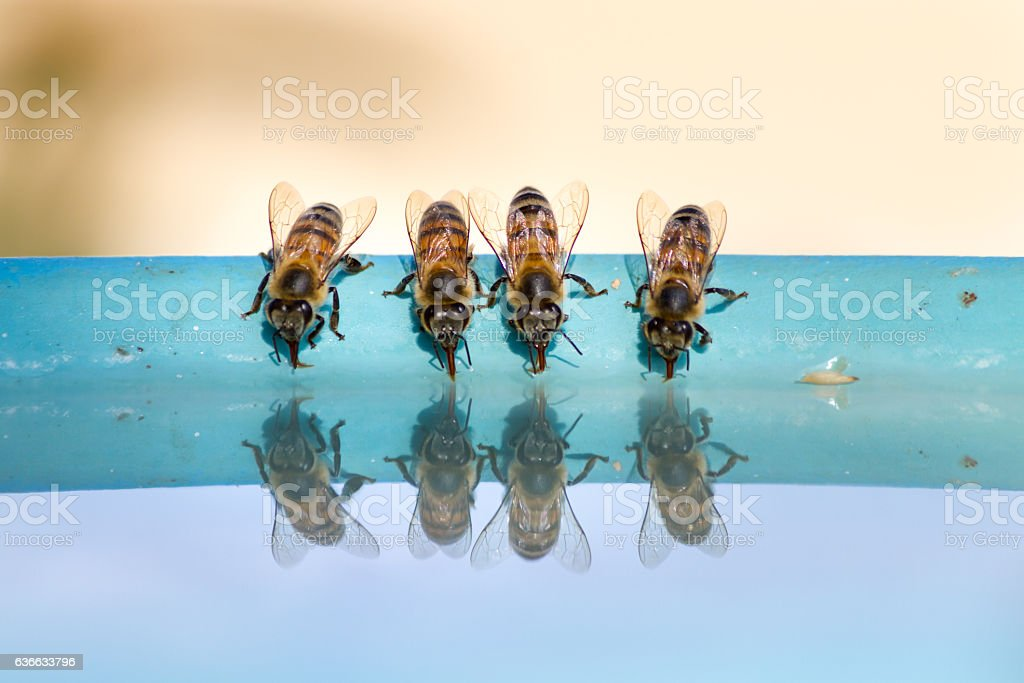 Four bees drinking water stock photo
