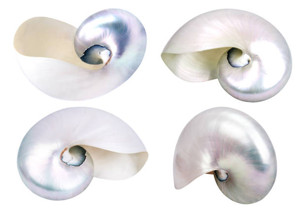 four big seashells isolated - mother of pearl stock photos and pictures