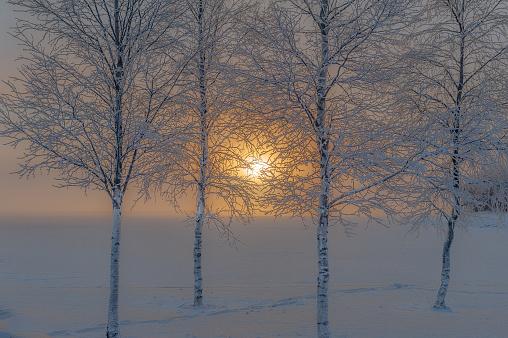 Four birches
