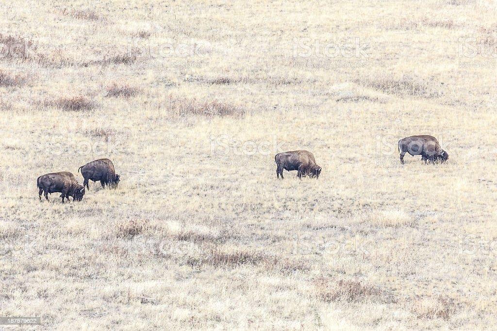 Four Bison stock photo
