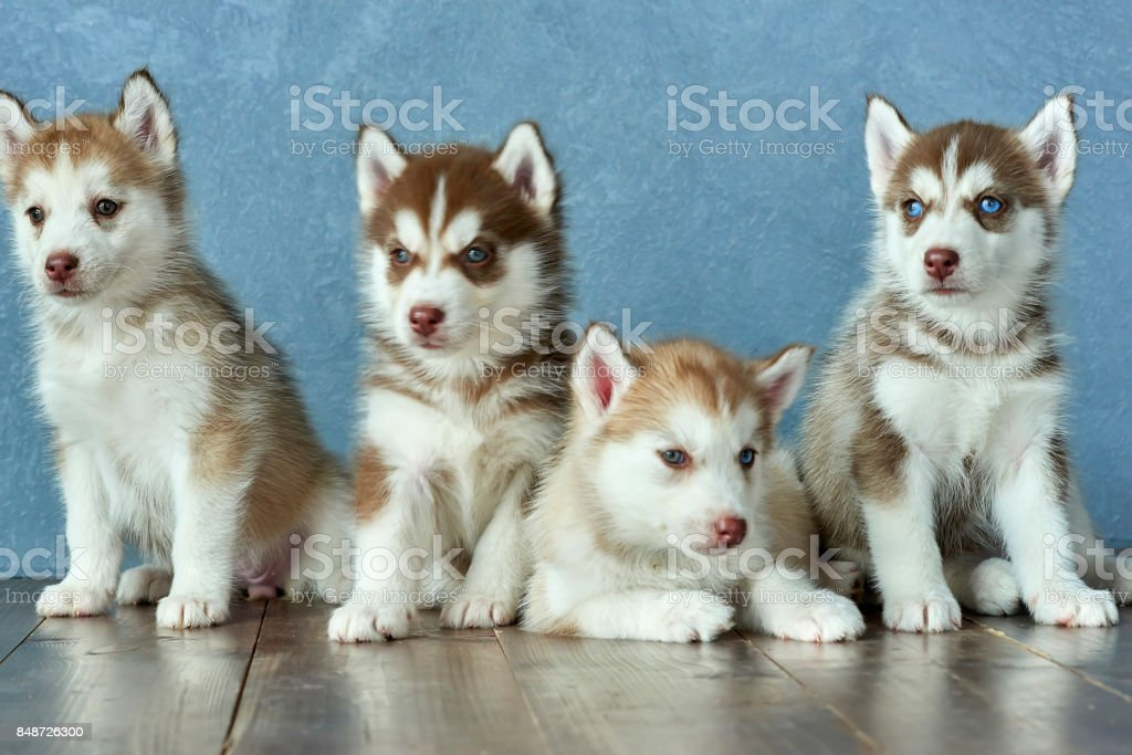 Four Blueeyed Copper And Light Red Husky Puppies On Wooden Floor And