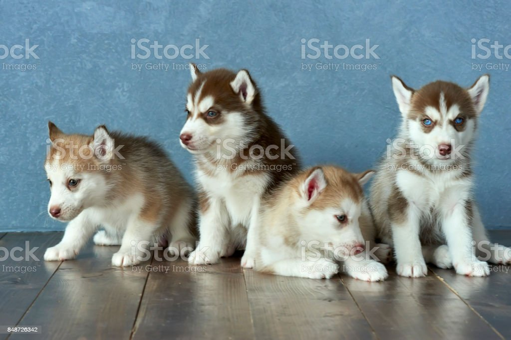 Four Blueeyed Copper And Light Red Husky Puppies On Wooden Floor And Grayblue Background Stock Photo Download Image Now Istock