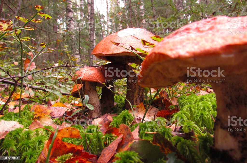 Four boletus in the forest stock photo