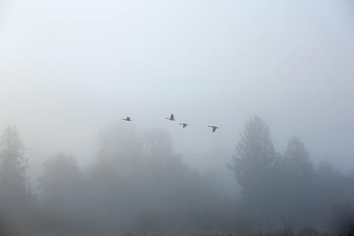 Four Canada Geese Fly Through Fog