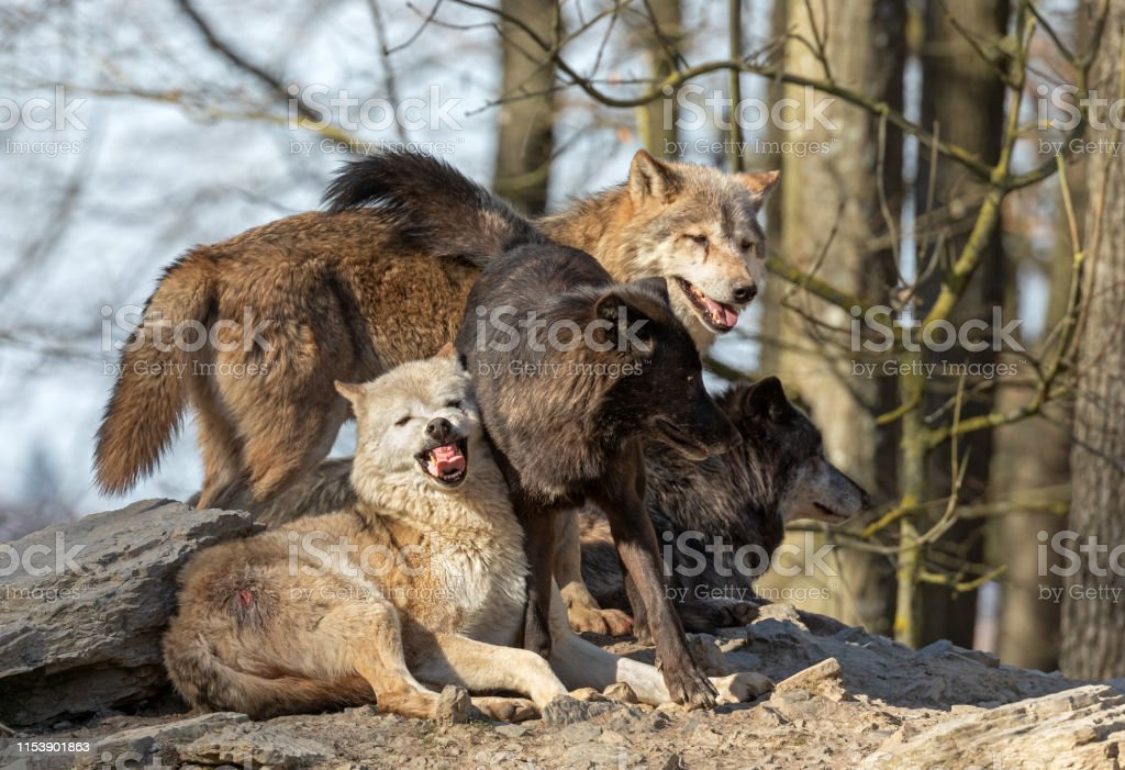 Four Canadian Timberwolves On A Rock Stock Photo Download Image